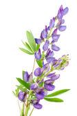 Violet winzige lupine — Stockfoto