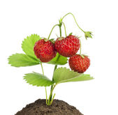Liten buske jordgubbar isolerade — Stockfoto