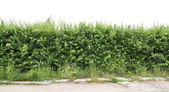 Fragment of a green hedge from a hawthorn — Stock Photo