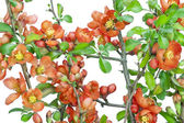 Japanese quince (Chaenomeles) background — Stock Photo