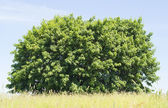 Blue sky, green bush, yellow grass — Stock Photo