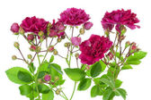 Pink roses with buds border — Stock Photo
