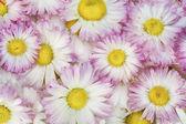 Real spring pink daisies macro — Stock Photo