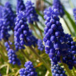 Royalty-Free Stock Photo: Grape hyacinths