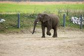 Elephant in zoo — Stockfoto