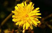 Sarı çiçek, — Stok fotoğraf