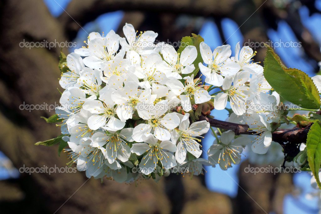 White flowers, Poland — Stock Photo #5916196