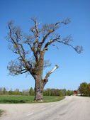 Old tree on the side of the road — Stock Photo