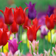 Colorful tulips — Stock Photo #5644374