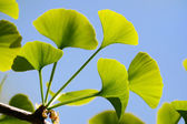 Gingko Biloba leaves — Stock Photo
