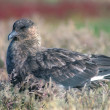 Great skua — Stockfoto