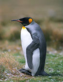 King penguin — Stock fotografie