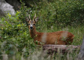 Young roe buck — Stock Photo