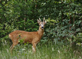 Roe Buck — Stock Photo