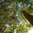 Stock Photo: Woodland Canopy