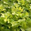 Green leaves plant — Stock Photo