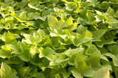 Green leaves plant — Stockfoto
