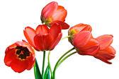 Spring tulips Isolated on white — Stock Photo