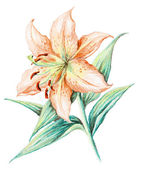 Picture, flower of a lily — Stock Photo