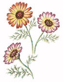 Picture, flowers of a chrysanthemum — Stock Photo