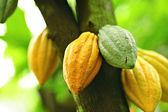 Cocoa pods — Stock Photo
