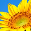 Sun flower close up — Stock Photo