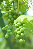 Raisin vert biologique — Photo