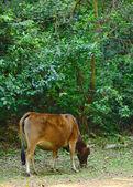 Wild Cow — Stock Photo