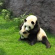 Two panda playing - Stock Photo