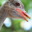 Ostrich — Stock Photo #6083665