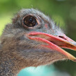 Ostrich portrait close up — Stock Photo #6083806