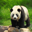 Royalty-Free Stock Photo: Wild Panda