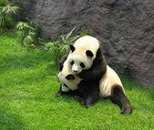 Two panda playing — Stock Photo