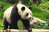 Wild Panda — Stock Photo