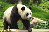 Wild Panda — Foto Stock