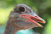 Ostrich portrait close up — Stock Photo