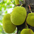 Stock Photo: Jackfruit on tree
