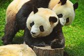 Due panda — Foto Stock