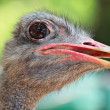 Stock Photo: Ostrich bird