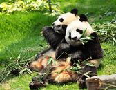 野生熊猫 — 图库照片