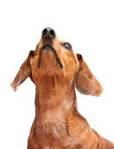 Dachshund dog looking to top — Stock Photo