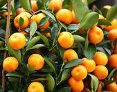 Kumquat for chinese new year — Stock Photo