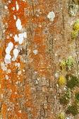 Tree bark with moss — Stock Photo