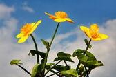 Marsh marigold — Stock Photo
