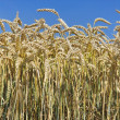 Wheat at blue sky - Stock Photo