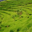 Balinese rice fields — Stock Photo #6742261