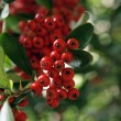 Stock Photo: Red berries hang from tree