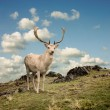 Stock Photo: Stag Deer