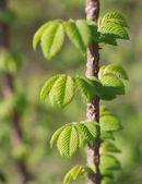 Wiosna buk drzewo liście — Zdjęcie stockowe