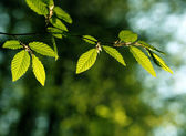 Spring beech tree leaves — Stock Photo
